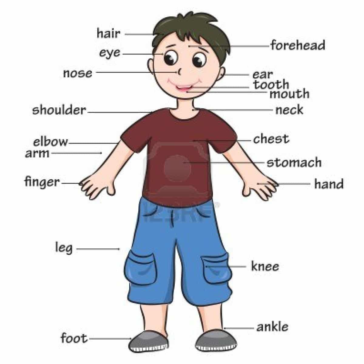 Partes del cuerpo humano en inglés - Number16Kids